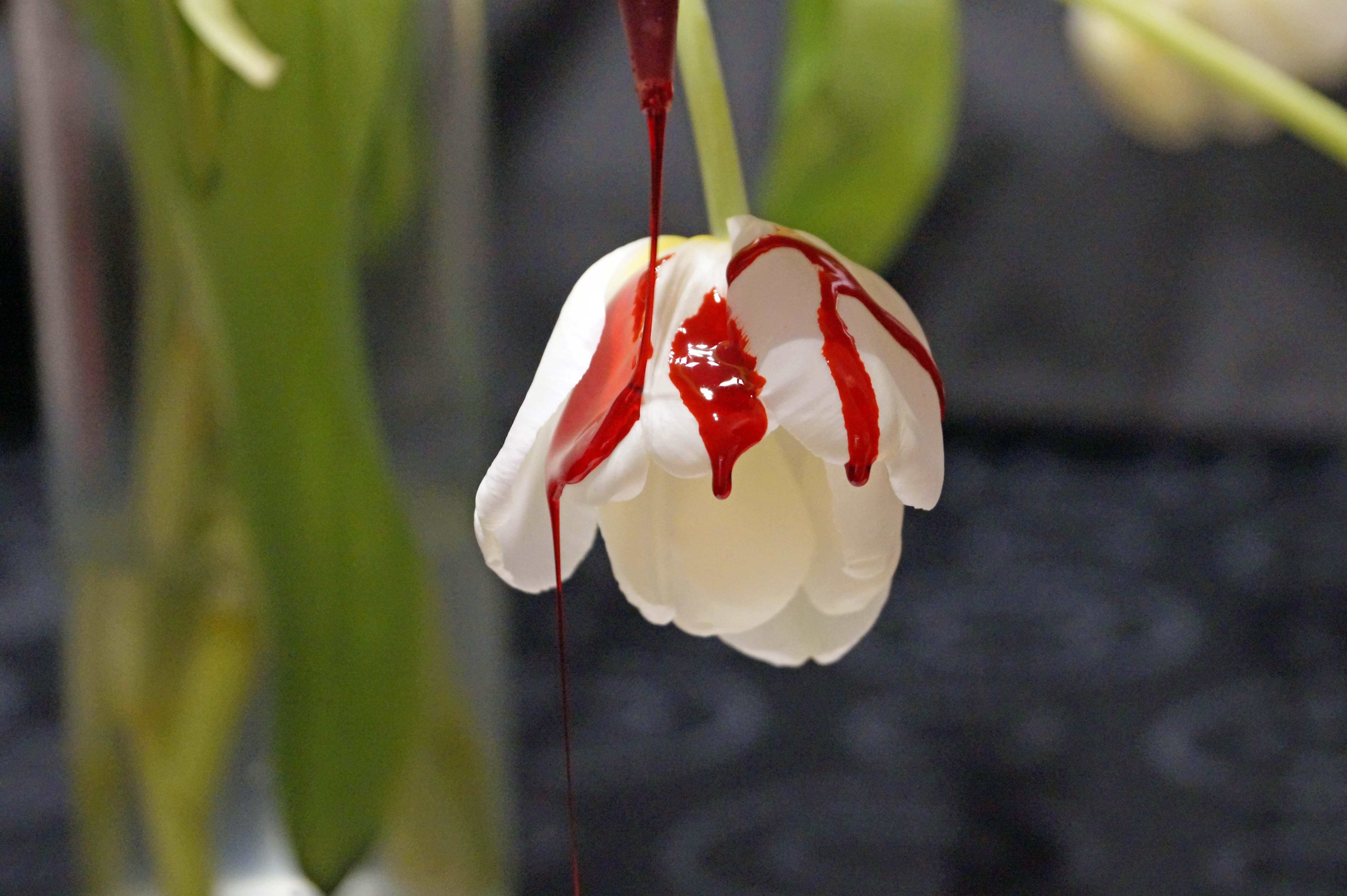 Tulpe Blut 02